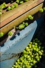 Separated hops moving into the harvest bin